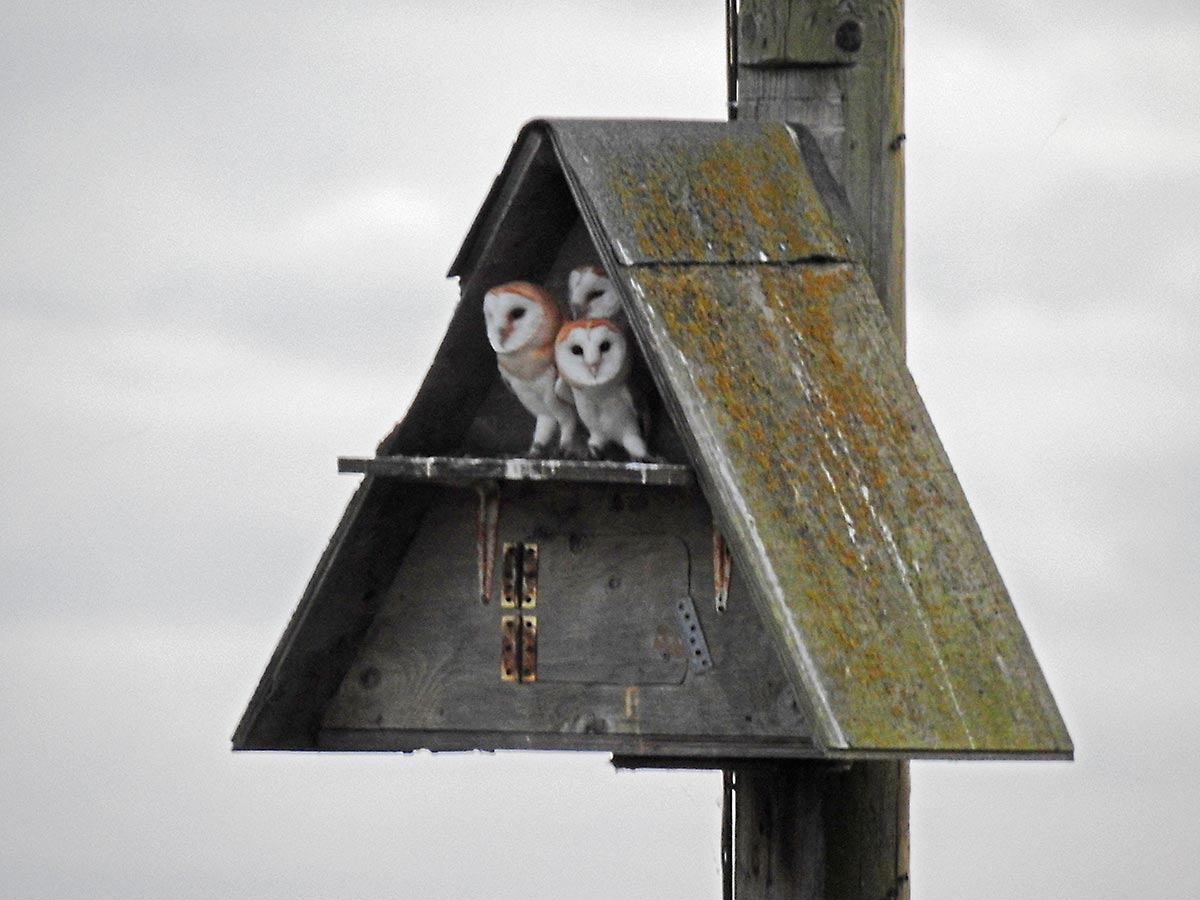 Barn owls in nest box - photo Edwin Parish