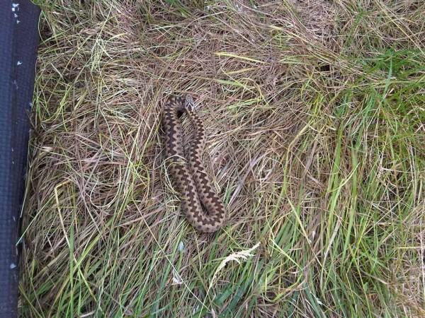Adder under reptile sheet