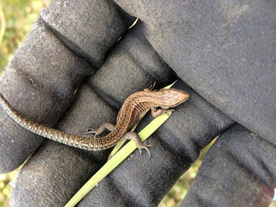 Common lizard captured from worksite