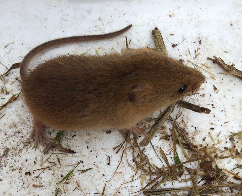 Harvest mouse captured and moved to bramble scrub within receptor