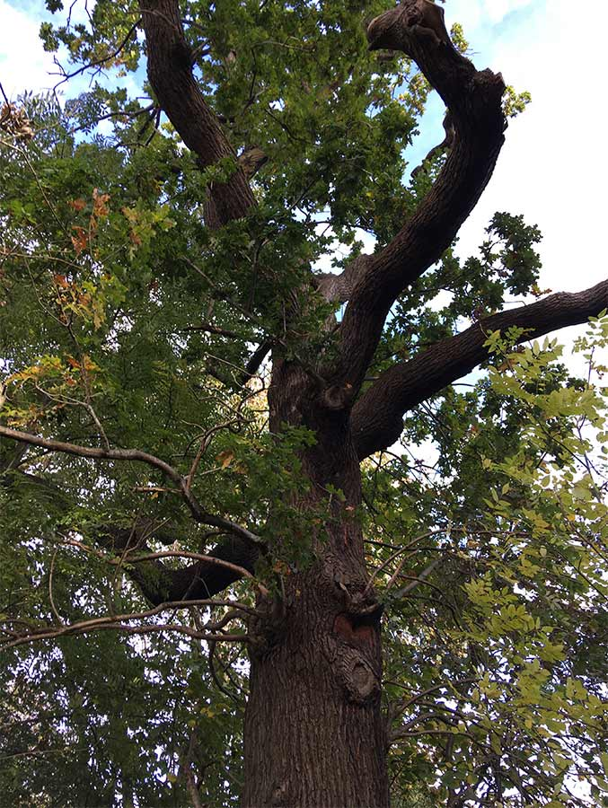 Tree retained with bat roost potential